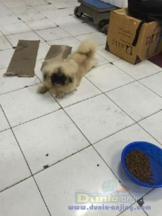 Jual Anjing Pekingese  - Pekingese Betina Istimewa Foto Keempat
