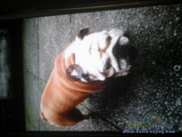Jual Anjing Bulldog  - Anakan Engbul Male Turunan Hunggaria Foto Keempat
