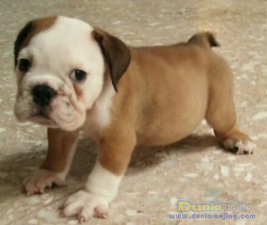 Jual Anjing Bulldog  - Anakan Engbul Male Turunan Hunggaria Foto Kedua