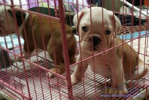 Jual Anjing Bulldog  - Anakan Engbul Male Turunan Hunggaria Foto Kelima