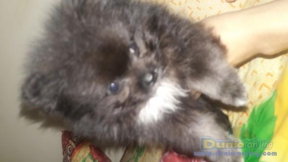 Jual Anjing Pomeranian  - JUAL SUPERMINI POM 2 BULAN Foto Kedua