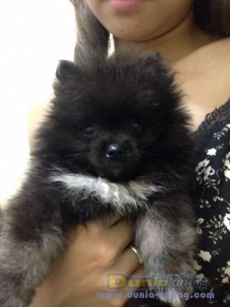 Jual Anjing Pomeranian  - JUAL SUPERMINI POM 2 BULAN Foto Utama
