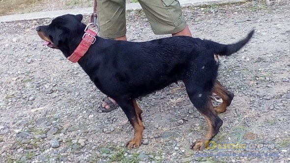 Jual Anjing Rottweiler  - Rottweiler Jinak Foto Ketiga