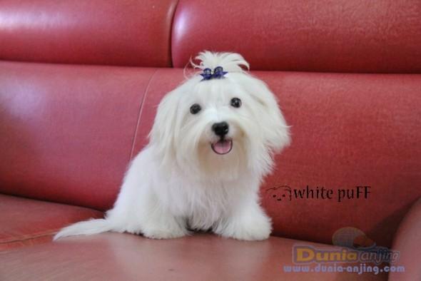 Jual Anjing Maltese  - For SALE Mini Maltese Jantan GOOD QUALITY Foto Utama