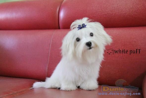 Jual Anjing Maltese  - For SALE Mini Maltese Jantan GOOD QUALITY Foto Kedua