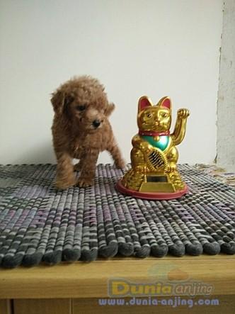 Jual Anjing Poodle  - Anakan.red Toy Poodle Foto Kedua