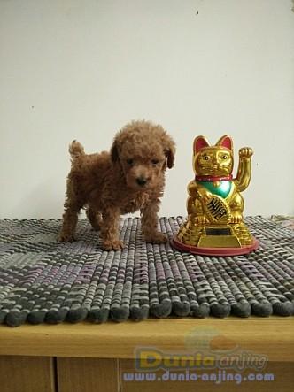 Jual Anjing Poodle  - Anakan.red Toy Poodle Foto Utama