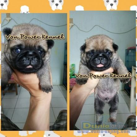 Jual Anjing Pug  - Jual Puppy Pug Foto Utama