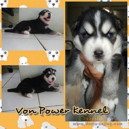 Jual Anjing Siberian Husky  - Puppy Siberian Husky Foto Utama