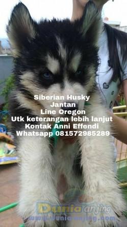 Jual Anjing Siberian Husky  - JUAL Siberian Husky Line Oregon Di BANDUNG Foto Utama