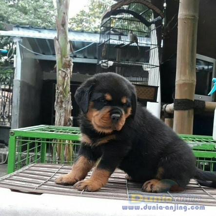 Jual Anjing Rottweiler  - Jual Rottweiler Jantan Anak Import Istimewa Foto Utama