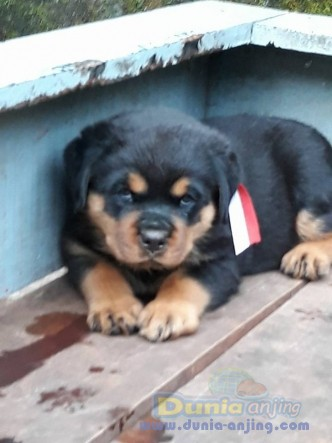 Jual Anjing Rottweiler  - Jual Rottweiler Betina Anak Import Istimewa Foto Utama