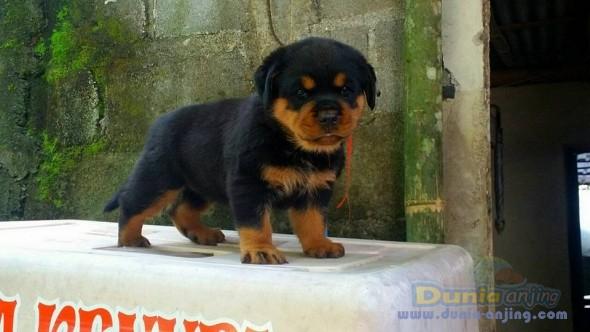 Jual Anjing Rottweiler  - Jual Rottweiler Betina Anak Import Istimewa Foto Kedua
