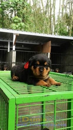 Jual Anjing Rottweiler  - Jual Rottweiler Betina Anak Import Istimewa Foto Ketiga