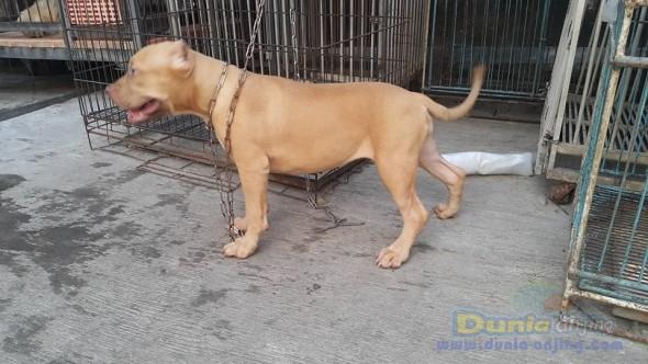 Jual Anjing American Pit Bull Terrier  - Jual Pit Bull Betina Istimewa Foto Keempat