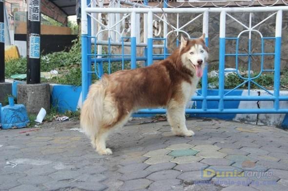 Jual Anjing Siberian Husky  - Jual Siberian Husky Pejantan Istimewa Foto Utama