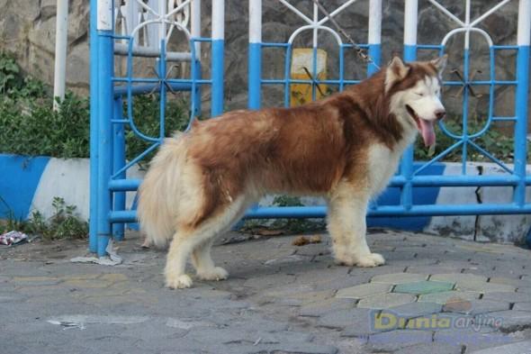 Jual Anjing Siberian Husky  - Jual Siberian Husky Pejantan Istimewa Foto Kedua