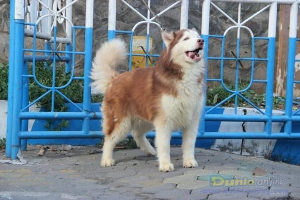 Jual Anjing Siberian Husky  - Jual Siberian Husky Pejantan Istimewa Foto Ketiga