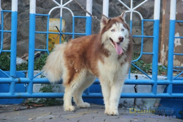 Jual Anjing Siberian Husky  - Jual Siberian Husky Pejantan Istimewa Foto Keempat