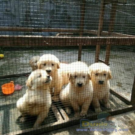 Jual Anjing Golden Retriever  - Jual Golden Retriever Betina Istimewa Foto Utama