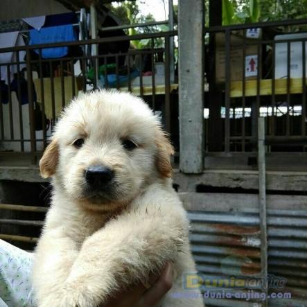 Jual Anjing Golden Retriever  - Jual Golden Retriever Betina Istimewa Foto Kedua
