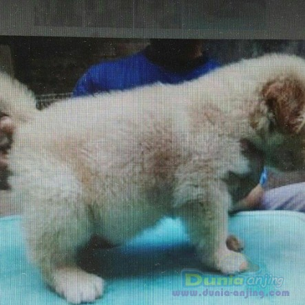 Jual Anjing Golden Retriever  - Jual Golden Retriever Betina Istimewa Foto Ketiga