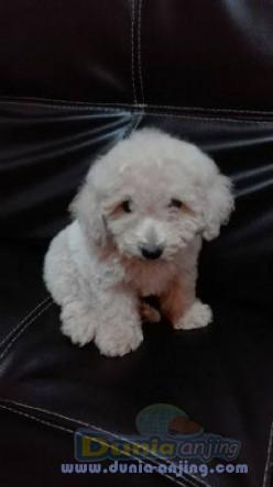 Jual Anjing Poodle  - Jual Toy Poodle Jantan Istimewa Foto Utama