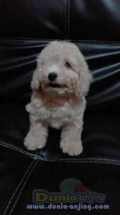 Jual Anjing Poodle  - Jual Toy Poodle Jantan Istimewa Foto Kedua