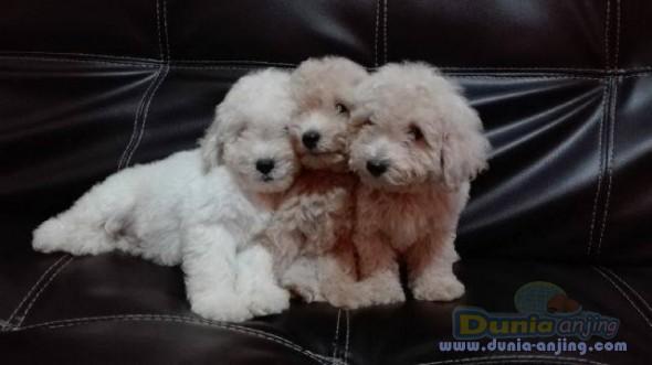 Jual Anjing Poodle  - Jual Toy Poodle Jantan Istimewa Foto Ketiga