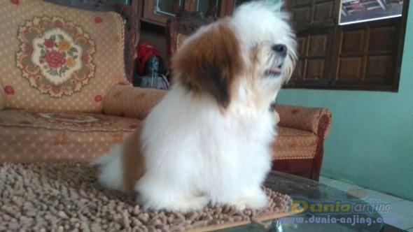 Jual Anjing Shih Tzu  - Jual Mini Shih Tzu Jantan Istimewa Foto Utama