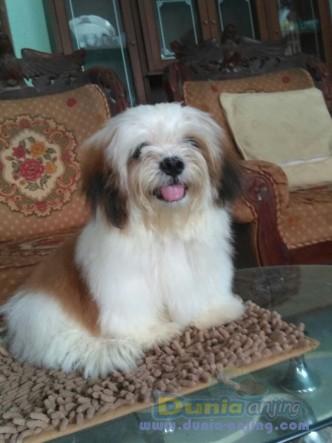 Jual Anjing Shih Tzu  - Jual Mini Shih Tzu Jantan Istimewa Foto Kedua