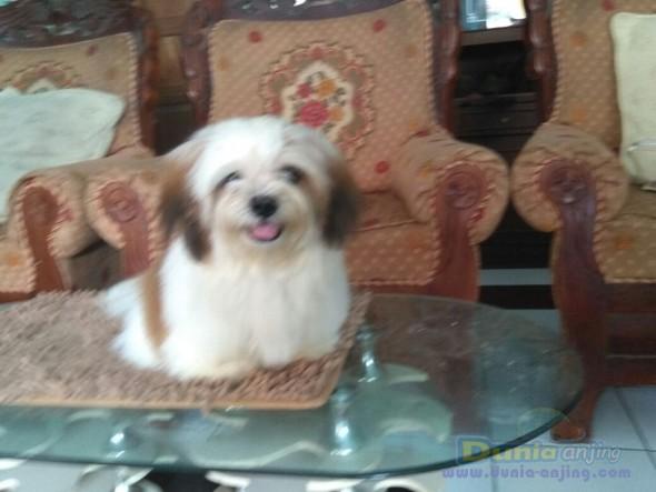 Jual Anjing Shih Tzu  - Jual Mini Shih Tzu Jantan Istimewa Foto Ketiga