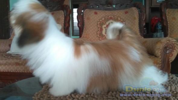 Jual Anjing Shih Tzu  - Jual Mini Shih Tzu Jantan Istimewa Foto Keempat