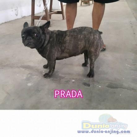 Jual Anjing French Bulldog  - Jual French Bulldog Betina Brindel Istimewa Foto Ketiga