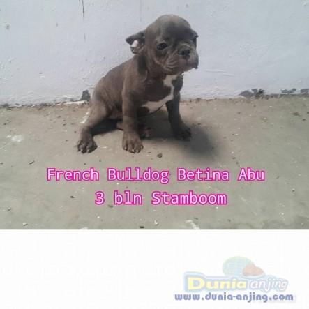 Dunia Anjing Jual Anjing French Bulldog Jual French Bulldog Betina Warna Langka Istimewa