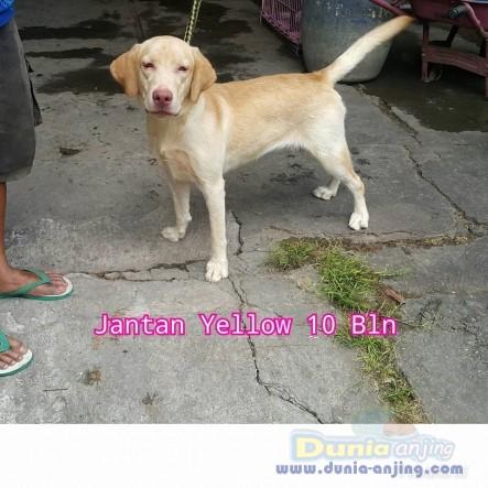 Jual Anjing Labrador Retriever  - Jual Labrador Jantan Dan Betina Istimewa Foto Utama