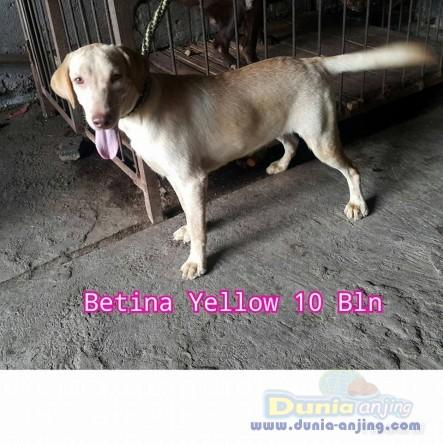 Jual Anjing Labrador Retriever  - Jual Labrador Jantan Dan Betina Istimewa Foto Kedua
