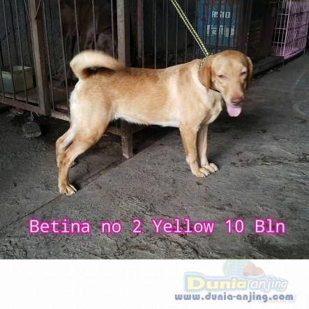 Jual Anjing Labrador Retriever  - Jual Labrador Jantan Dan Betina Istimewa Foto Ketiga