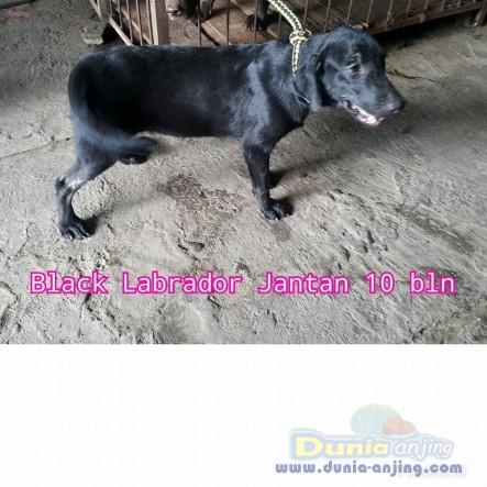 Jual Anjing Labrador Retriever  - Jual Labrador Jantan Dan Betina Istimewa Foto Keempat