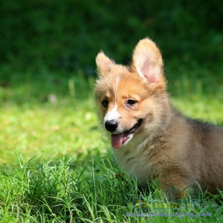 Jual Anjing Welsh Corgi  - Jual Welsh Corgi Jantan Sable Istimewa Foto Utama