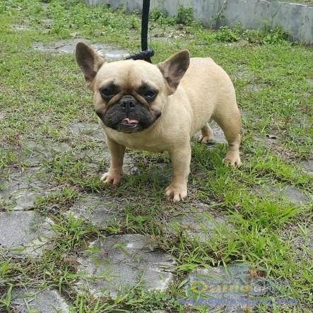Jual Anjing French Bulldog  - Jual French Bulldog Betina Fawn Istimewa Foto Ketiga