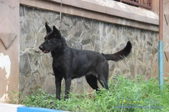 Jual Anjing German Shepherd Dog  - Jual Herder Betina All Black Istimewa Foto Utama