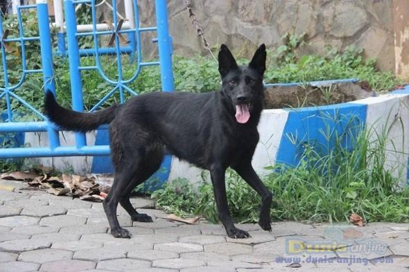 Jual Anjing German Shepherd Dog  - Jual Herder Betina All Black Istimewa Foto Kedua