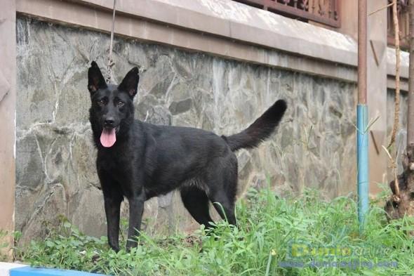 Jual Anjing German Shepherd Dog  - Jual Herder Betina All Black Istimewa Foto Ketiga
