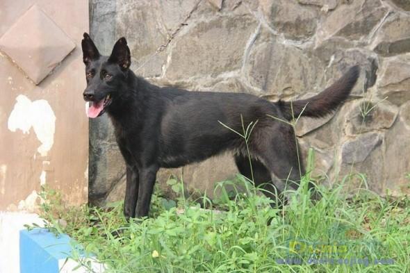 Jual Anjing German Shepherd Dog  - Jual Herder Betina All Black Istimewa Foto Keempat