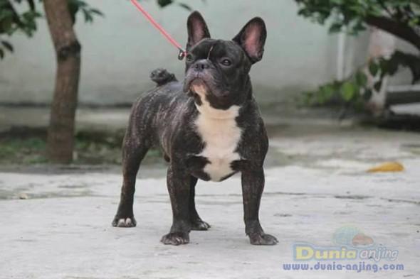 Jual Anjing French Bulldog  - Jual Pejantan French Bulldog Brindel Istimewa Foto Ketiga