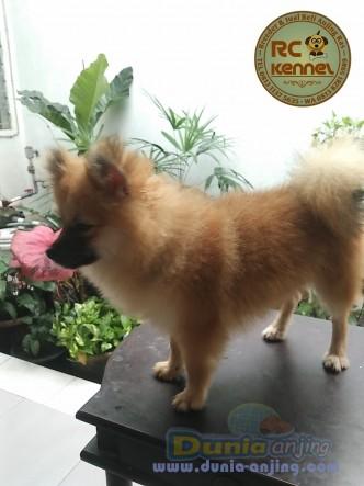 Jual Anjing Pomeranian  - Super Mini Pom Remaja Sable Good Quality Foto Kedua