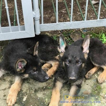 Jual Anjing German Shepherd Dog  - Jual Herder Jantan Istimewa Foto Utama