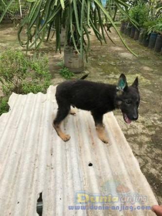 Jual Anjing German Shepherd Dog  - Jual Herder Jantan Istimewa Foto Ketiga