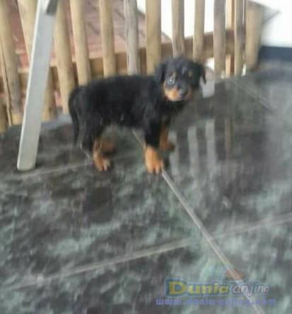 Jual Anjing Rottweiler  - Jual Rottweiler Jantan Dan Betina Istimewa Foto Kedua